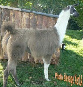 CALI, lama classique, élevage KerLA