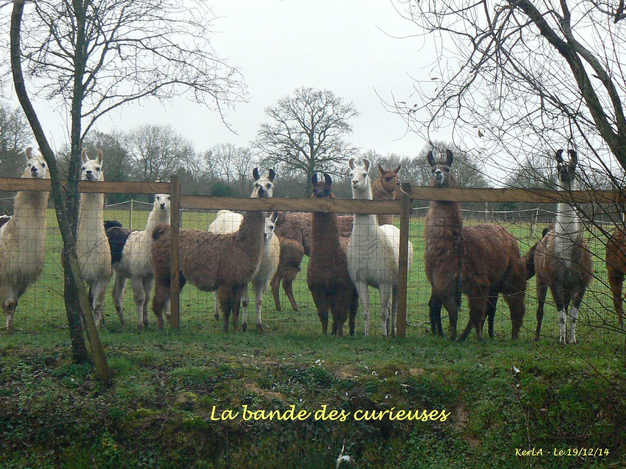 Les filles lamas - dec 14