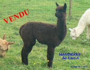 MANDRAKE vendu