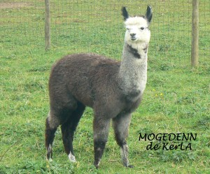 MOGEDENN-