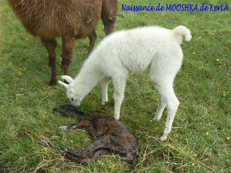 MOOSHKA naissance 5