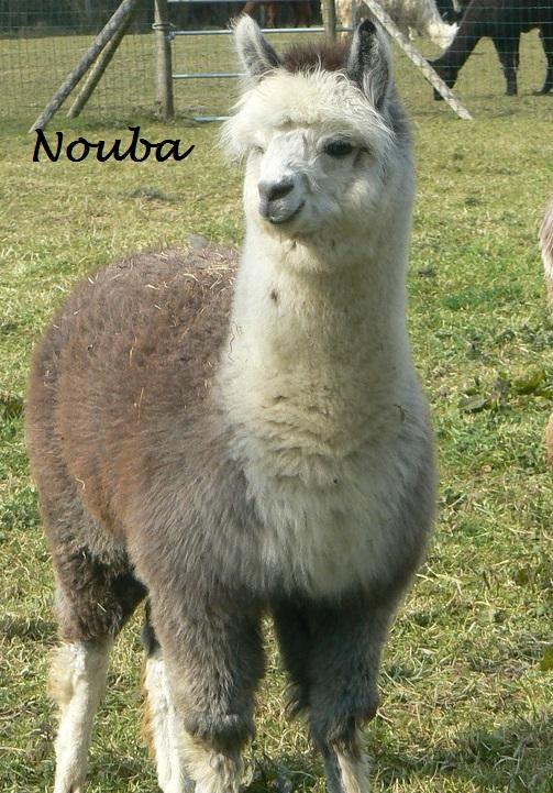NOUBA- Elevage KerLA - Lamas & AlpagasElevage KerLA