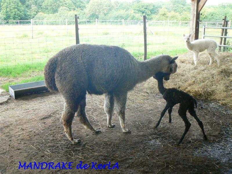 MANDRAKE naissance 2