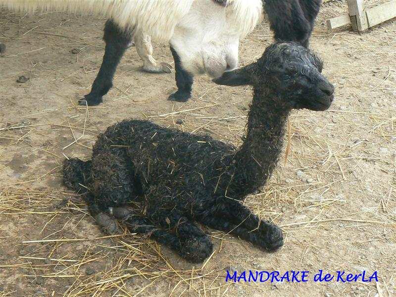 MANDRAKE naissance