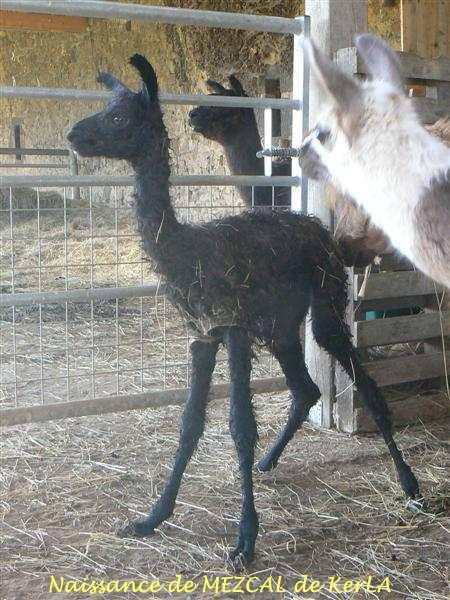 MEZCAL naissance