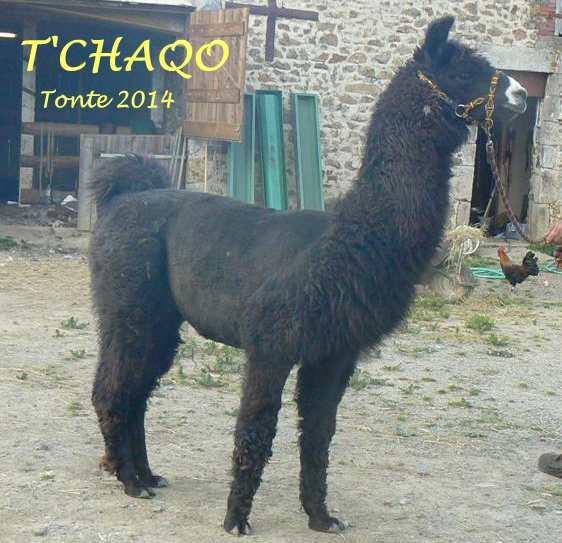 TCHAQO tonte 2014