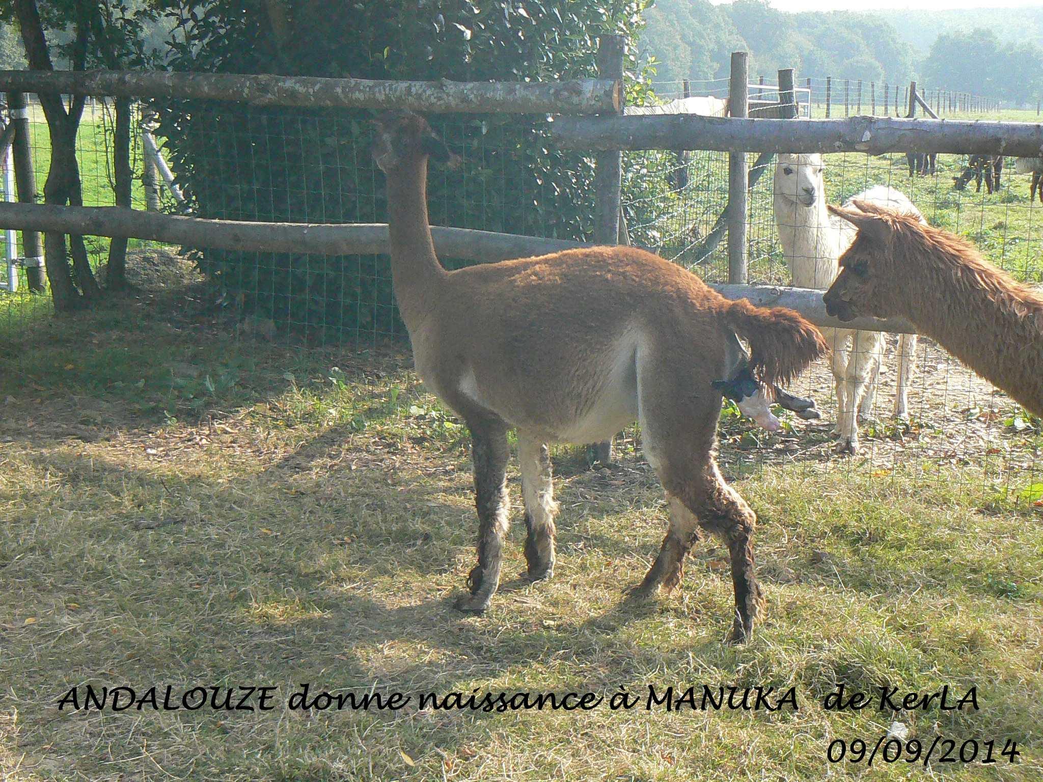 MANUKA naissance 1