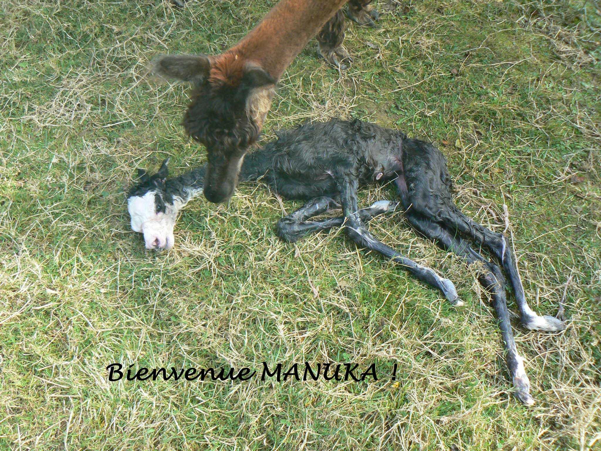 MANUKA naissance 2