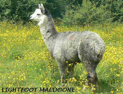 MALDOONE -