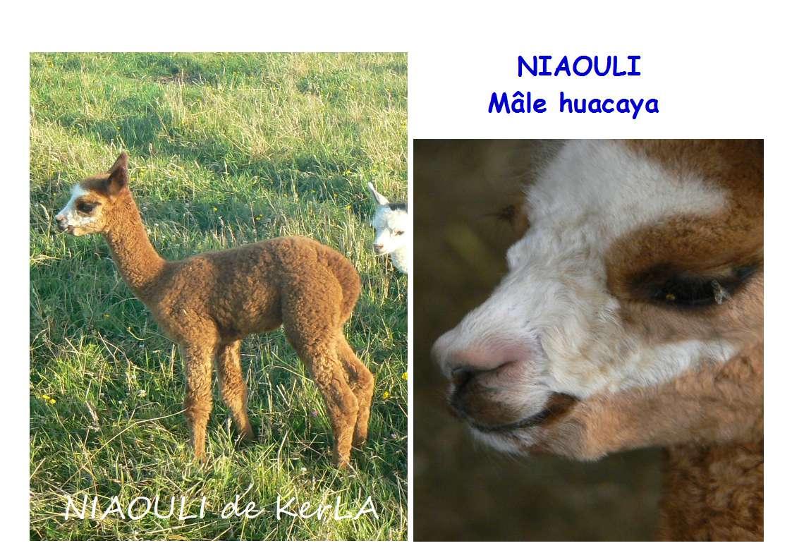 NIAOULI-x