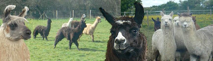 Elevage KerLA – Lamas & Alpagas